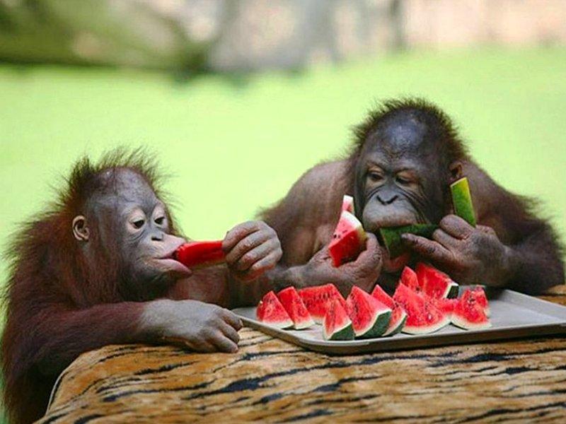 орангутаны и арбуз
